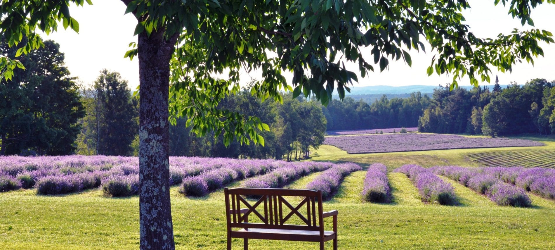 rows of lavender at the bleu lavande lavender farm Canada near Rabbit Hill Inn